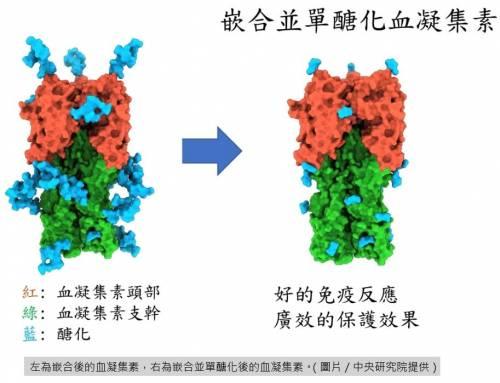 """中研院基因體研究中心團隊取得研究重大突破""""嵌合並單醣化血凝集素,做出可抗人及禽流感的廣效疫苗"""""""